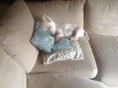 Sleeping Westie on couch Westies, Westie Puppies, Cute Puppies, Cute Dogs, Sweet Dogs, Terrier Dogs, Terriers, Cutest Dog Ever, Raining Cats And Dogs