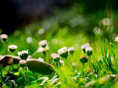 Mery Weather Photography, Flowers, Daisy, margarita