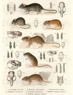 Mice and mouse skulls zoology digital collage by DancingBirdArts. $1.65, via Etsy.