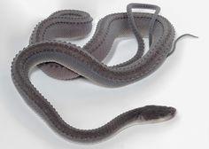 Xenodermus javanicus (a.k.a. Dragon snake, Javan Mudsnake and Tubercle Snake)