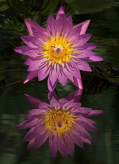 """""""Pink Sensation"""" Water Lily Sunrise.  Go to www.YourTravelVideos.com or just click on photo for home videos and much more on sites like this."""