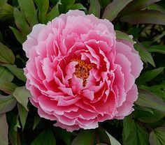 The lovely 7″ semidouble blooms are a deep salmon pink with soft pink edges. A very reliable and vigorous variety.The Tree Peony is one of the most glorious shrubs available to American gardeners. Its huge, silky flowers are similar to those of herbaceous Peonies, but the range of color runs from pure white through pinks and reds into lavender and yellow. Mature plants reach 4–5″ and carry up to 50 of these exquisite blooms.Tree Peonies grow best in full sun or partial shade (required in…