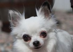 Petango.com – Meet Ellie, a 6 years 2 months Chihuahua, Long Coat available for adoption in COLORADO SPRINGS, CO