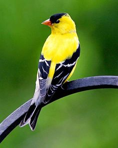 Attract American goldfinches to your backyard feeder with thistle and sunflower seeds. Plus, what you should plant in your garden to attract even more.