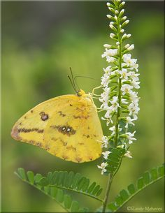 The Cloudless Sulphur butterfly or Cloudless Giant Sulphur (Phoebis sennae) is a midsized butterfly in the family Pieridae found in the New World.