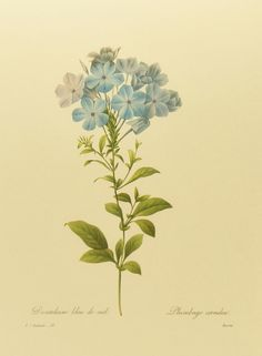 Vintage Blue Cape Plumbago Botanical Flower Print, Wall Hanging Home Decor Art, Redoute Plate No. 32. $5.00, via Etsy.