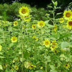 Black oil sunflower  Isi 10 benih (harga 10rb)  sms/wa 085777119992  Pin bb id silky 54732db8 Line id silkynazma  Hanya di @amefurashii banyak benih unik & murah  #bibitsunflower #bibitmatahari #bibit #benihsunflower #benihbunga #bibitbunga #benihtanaman #bibitimport #tanamanhias #tanamanbunga #bibitmurah #bibitunik  #benihunik #tanamanunik #benihbungamurah #benihbunga #bibitbunga #flowerseed #bijibungamatahari #matahari #blackoilsunflower