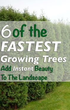 Grow beautiful, mature trees and skip the wait. Privacy Trees, Backyard Privacy, Small Backyard Landscaping, Privacy Hedge, Backyard Fences, Garden Shrubs, Patio Plants, Garden Paths, Evergreen Landscape