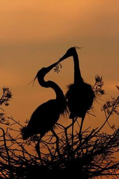 crescentmoon06: Great Blue Heron Silhouette by Michael Wolf on 500px