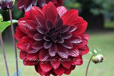 Ruby Red Dahlia with Morning Dew  8x10 Print by LedByLight on Etsy