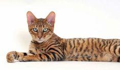 кошка тойгер - красивая порода кошек