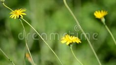 (C) Celia Ascenso - Water Falling On Yellow Wild Flowers.
