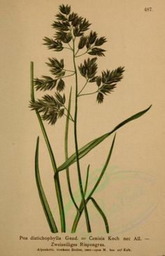 poa distichophylla - high resolution image from old book. Wall Transfers, New York, Beautiful Paintings, Botany, Vintage Art, Plant Leaves, Clip Art, Art Nature, Illustration