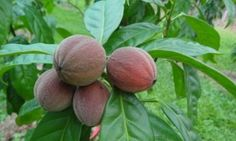 Drug derived from the fruit of the blushwood tree kills cancerous tumours long-term in animals in 70% of cases