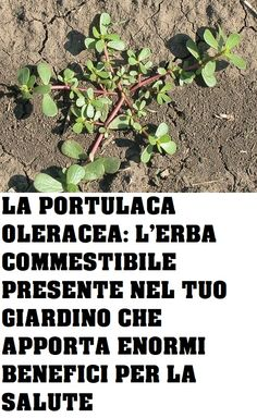 Portulaca Oleracea, In Natura, Edible Plants, Garden Crafts, Medicinal Plants, Growing Vegetables, Vegetable Garden, The Cure, Recipies