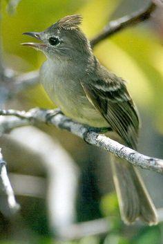 Nombre popular: Fiofio copetón, Yellow bellied Elaenia   Nombre científico: Elaenia flavogaster            Orden:  Passeriformes    Famil...