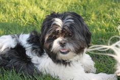 Kyra is an adoptable Shih Tzu Dog in Parma, OH. This sweet little girl is PERFECT according to her foster mom. She's about 1-2yrs old and She loves to go for walks. We really want her to be in a home with another furfriend. We don't think she would be happy being the only furbaby in the household. If you are interested in adopting our sweet little girl-please go to our main webpage and fill out our application. We do not adopt to homes with small children and require STRONG vet references.