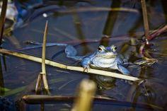 'Blue Frogs 06 - Rana arvalis' von Roland Hemmpel bei artflakes.com als Poster oder Kunstdruck $16.63