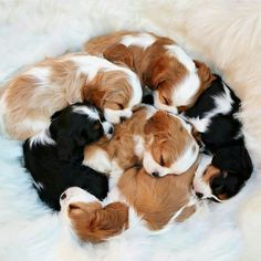 The traits we all adore about the Smart Cavalier King Charles Spaniel Pup Super Cute Puppies, Baby Animals Super Cute, Cute Baby Dogs, Cute Little Puppies, Cute Dogs And Puppies, Cute Little Animals, Cute Funny Animals, Doggies, Puppies Stuff