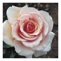 Buy Roses at Harkness Online - Mary-Jean - Harkness Roses