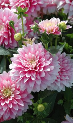 """~~Dahlia 'Bagatelle'   Decorative, Bicolor Pink with White Tips. Compact and floriferous with 6"""" blooms, no staking needed, 2 ft height   Qualite Plantes~~"""