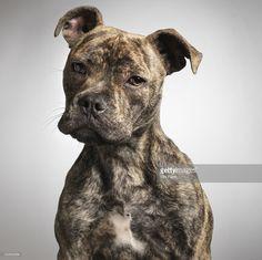 Dog, Portrait, Staffordshire Bull-Terrier Cross