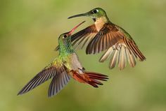 Rufous-tailed Coronet and Fawn-breasted Brilliant