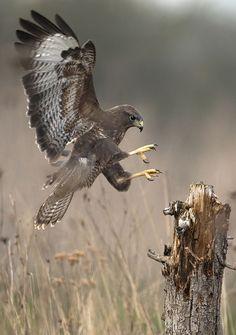 Faucon -- Falcon.