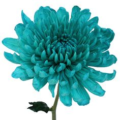 Turquoise Wedding Cremon Flower. (teal)  soft to the touch, this trendy turquoise Cremon would add striking color to any wedding bouquet, table centerpiece or flower arrangement. Disbud Mums are shipped fresh directly from our Ecuadorian or Colombian farms to your doorstep. Love the color!!