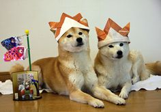 Shibas wearing hats! I must make one for my boy!
