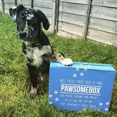 Milo the Dalmador excited for his #Pawsomebox ! #cute #cutie #pet #pup #puppy #petsofinstagram #pets #puppiesofinstagram #instapet #instapup #dog #dalmador #dalmatian #labrador #labsofinstagram #dailypuppy #dogs_features #like #follow
