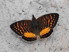 Butterflies of the Andes - Higginsius fasciata Rainforest Butterfly, Butterfly Species, Butterfly Crafts, Borneo, Papua New Guinea, Beautiful Butterflies, Habitats, Moth, Butterflies