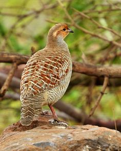 The Grey Francolin (formerly also called the Grey Partridge, but not to be confused with the European Grey Partridge) Francolinus pondicerianus is a species of francolin found in the plains and drier parts of South Asia.
