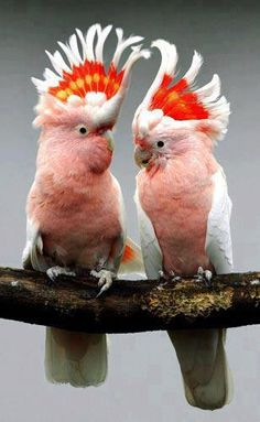 Major Mitchells Cockatoo (Lophochroa leadbeateri), also known as Leadbeaters Cockatoo or Pink Cockatoo