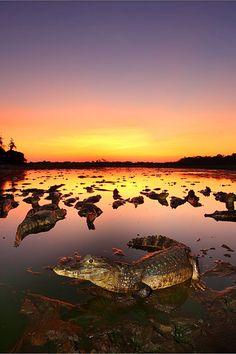Pose de jacaré ao nascer do Sol no Pantanal, Mato Grosso - Brasil !