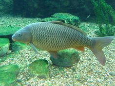 Virginia Fishes : Common Carp