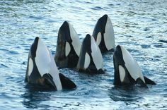 Orca. Help keep them free of capture. Help stop the captive breeding programs that doom the newborns to a life of captivity, never to know the majestic oceans and life in the wild as God intends!