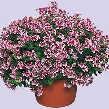 Afbeeldingsresultaat voor pelargonium crispum angeleyes