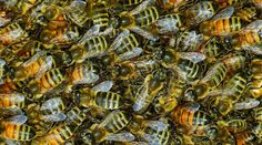 What in the world are they thinking?? EPA Approves New Pesticide Highly Toxic To Bees