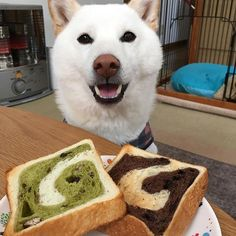 初めてのパン太郎 うを⁉️ これは見たことないパンだぞ どんな味がするのかなぁ✨ . お昼になってしまいましたが今朝のパン太郎です 抹茶小豆とチョコです たまに買ってるあん食パンのほうが好きです(笑) . 琥太郎には真ん中の白い部分と耳しかあげられませんでした . #白柴 #柴犬 #日本犬 #和犬 #犬バカ部 #犬ばか部 #柴犬マニア  #shiba #shibainu #shibastagram  #shibas #dogstagram #doglover #japanesedog #bestdog #琥太郎 #白柴マニア