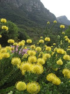 Kirstenbosch Botanical Gardens, South Africa. Cape Town, South Africa