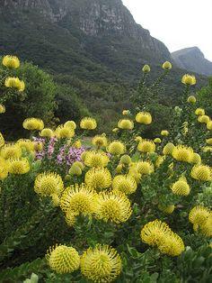 Kirstenbosch Botanical Gardens, South Africa.  Photo:  locationindependent, via Flickr