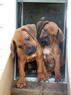Rhodesian Ridgeback puppies. I have a dog in this breed and she is so cute! Her name is Stella!