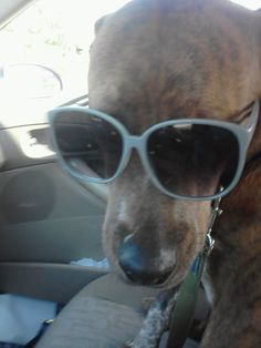 Bruiser loves sunglasses and rides in the car!!!