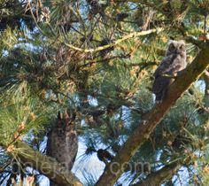 Dale Aren continues her posts on the owls in her back yard. I love this photo of junior and father in the pine tree. What magnificent creatures these owls are.