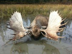 biggest elk alive - Google Search