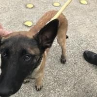 Pictures of Black Farms Zaley a Belgian Malinois for adoption in Fort Worth, TX who needs a loving home. Fort Worth Texas, Animal Rescue Site, Belgian Malinois, Farms, Pet Adoption, Meet, Dogs, Pictures, Animals
