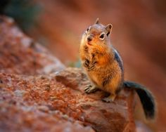 Cutest Chipmunk In Bryce Canyon | Fine Art Nature Photography by Steve Perry