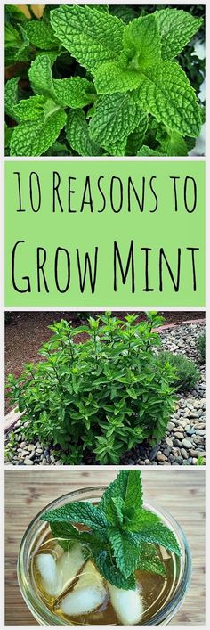 Mint has a bad reputation for taking over the garden, for good reason. But, there are many reasons to grow mint in your backyard without fear! #gardeningideas