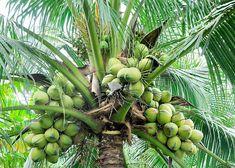 El coco previene enfermedades degenerativas, mejora el sistema inmunitario, protege nuestro hígado, ¡y mucho más! ecoagricultor.com